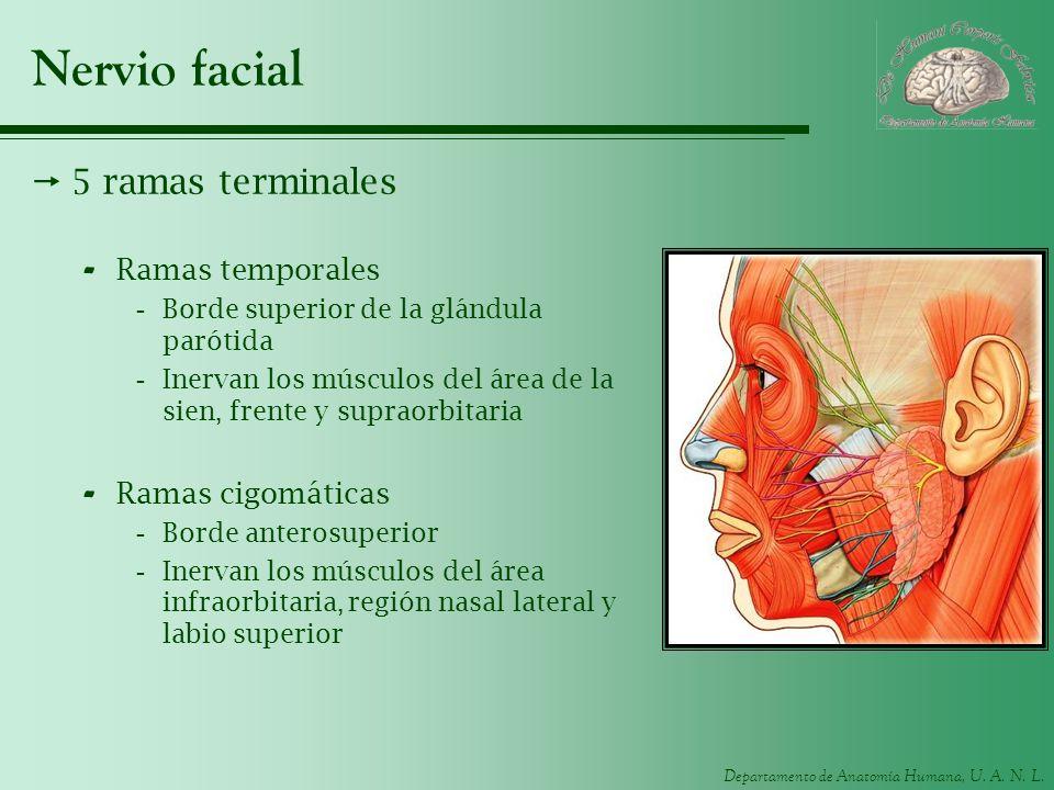 Departamento de Anatomía Humana, U. A. N. L. Nervio facial 5 ramas terminales - Ramas temporales -Borde superior de la glándula parótida -Inervan los