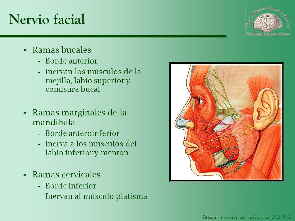 Departamento de Anatomía Humana, U. A. N. L. Nervio facial - Ramas bucales -Borde anterior -Inervan los músculos de la mejilla, labio superior y comis