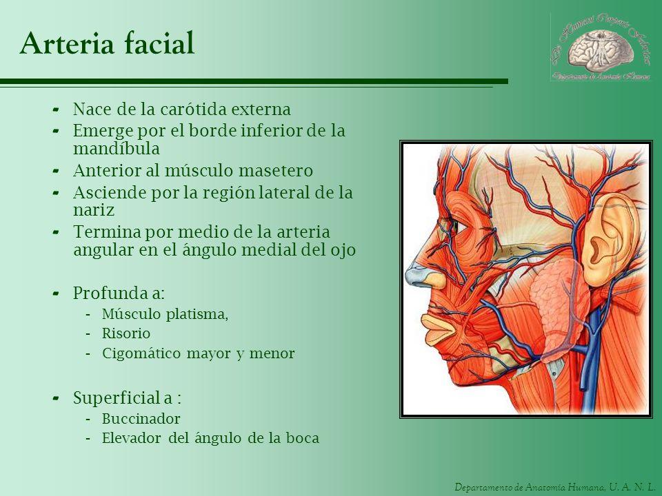 Departamento de Anatomía Humana, U. A. N. L. Arteria facial - Nace de la carótida externa - Emerge por el borde inferior de la mandíbula - Anterior al