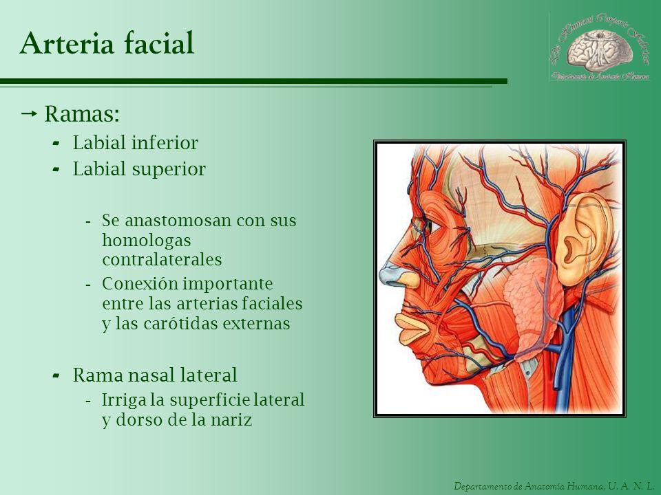 Departamento de Anatomía Humana, U. A. N. L. Arteria facial Ramas: - Labial inferior - Labial superior -Se anastomosan con sus homologas contralateral