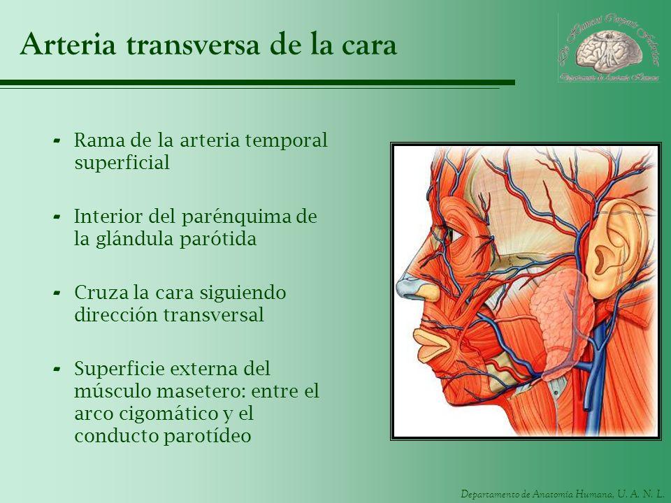 Departamento de Anatomía Humana, U. A. N. L. Arteria transversa de la cara - Rama de la arteria temporal superficial - Interior del parénquima de la g