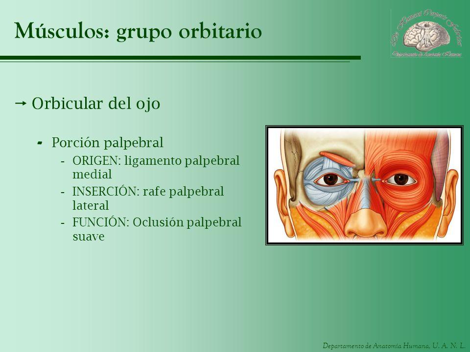 Departamento de Anatomía Humana, U. A. N. L. Músculos: grupo orbitario Orbicular del ojo - Porción palpebral -ORIGEN: ligamento palpebral medial -INSE
