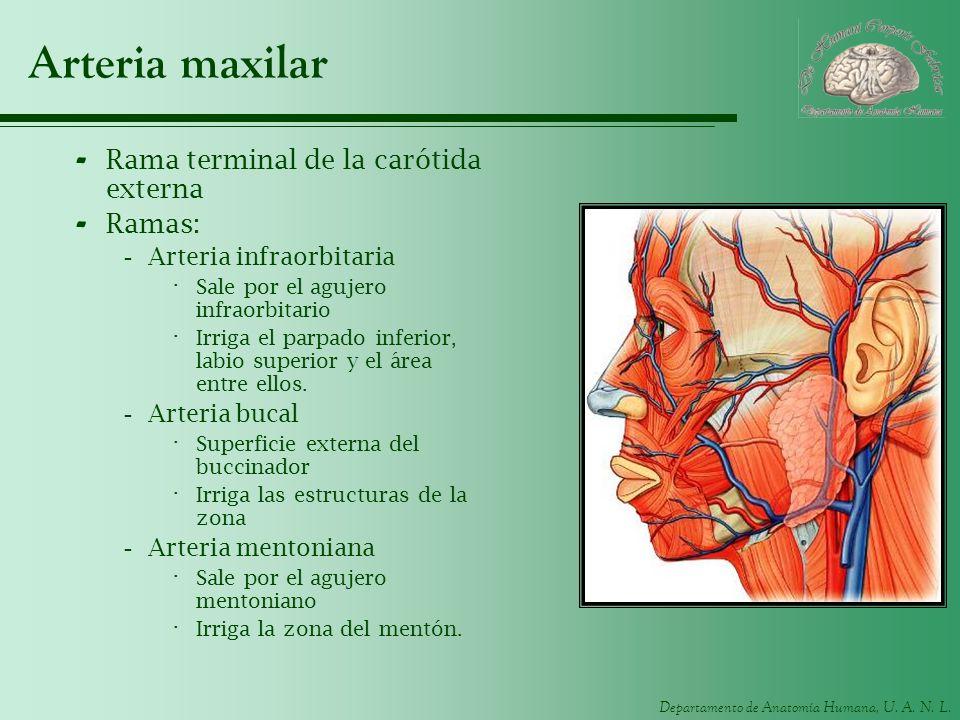 Departamento de Anatomía Humana, U. A. N. L. Arteria maxilar - Rama terminal de la carótida externa - Ramas: -Arteria infraorbitaria · Sale por el agu