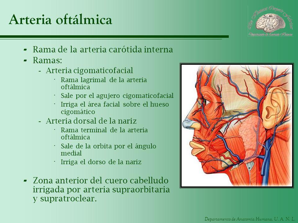 Departamento de Anatomía Humana, U. A. N. L. Arteria oftálmica - Rama de la arteria carótida interna - Ramas: -Arteria cigomaticofacial · Rama lagrima