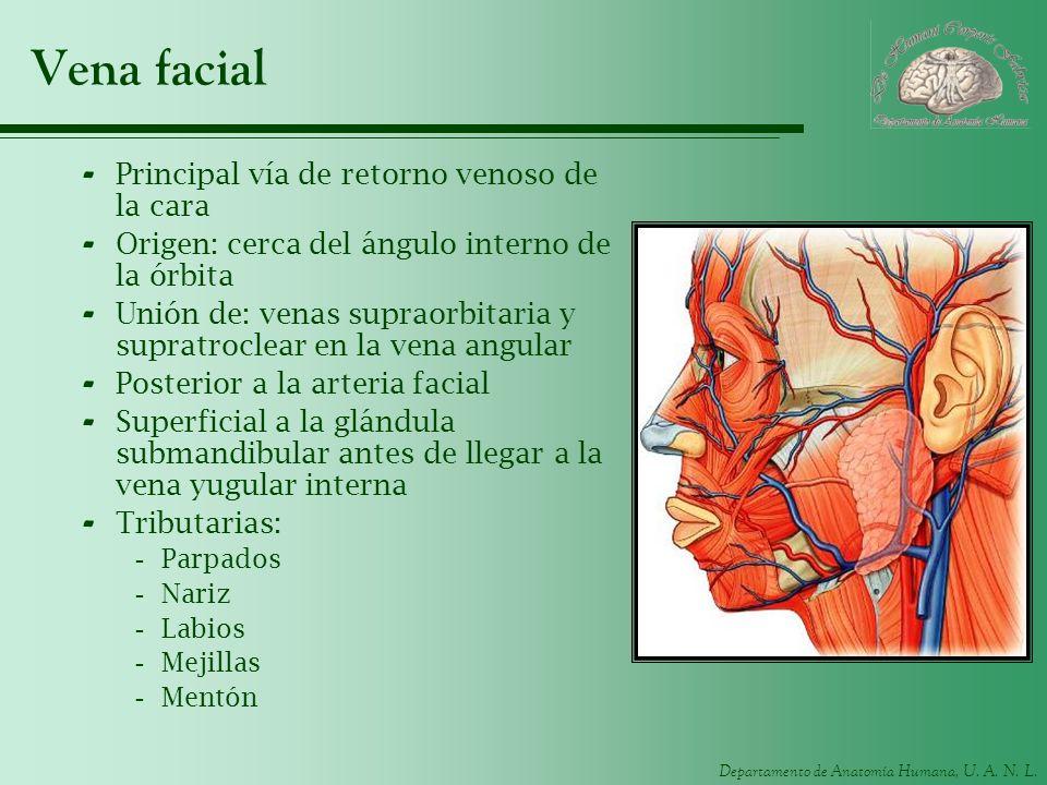 Departamento de Anatomía Humana, U. A. N. L. Vena facial - Principal vía de retorno venoso de la cara - Origen: cerca del ángulo interno de la órbita