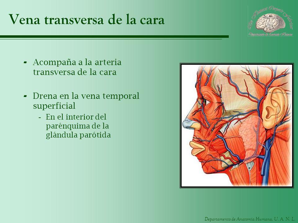Departamento de Anatomía Humana, U. A. N. L. Vena transversa de la cara - Acompaña a la arteria transversa de la cara - Drena en la vena temporal supe