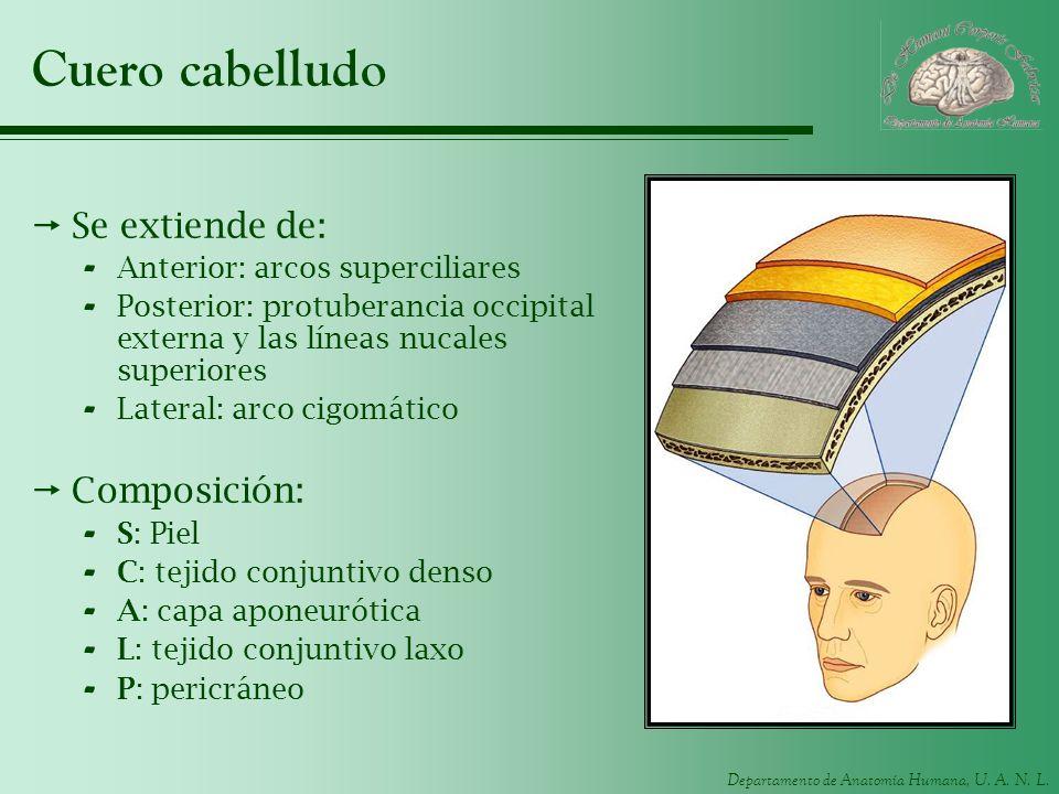 Departamento de Anatomía Humana, U. A. N. L. Cuero cabelludo Se extiende de: - Anterior: arcos superciliares - Posterior: protuberancia occipital exte