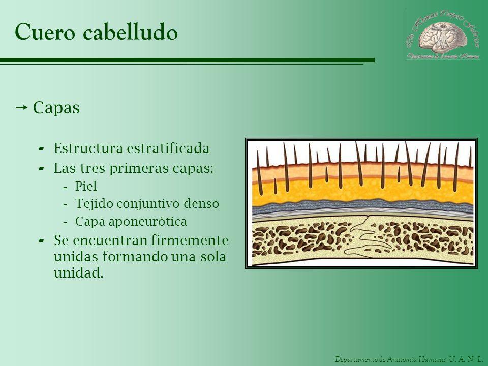 Departamento de Anatomía Humana, U. A. N. L. Cuero cabelludo Capas - Estructura estratificada - Las tres primeras capas: -Piel -Tejido conjuntivo dens