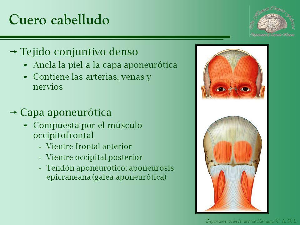 Departamento de Anatomía Humana, U. A. N. L. Cuero cabelludo Tejido conjuntivo denso - Ancla la piel a la capa aponeurótica - Contiene las arterias, v