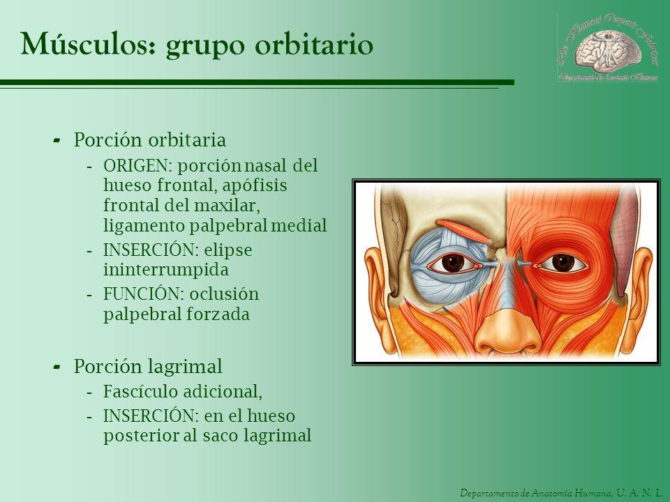 Departamento de Anatomía Humana, U. A. N. L. Músculos: grupo orbitario - Porción orbitaria -ORIGEN: porción nasal del hueso frontal, apófisis frontal