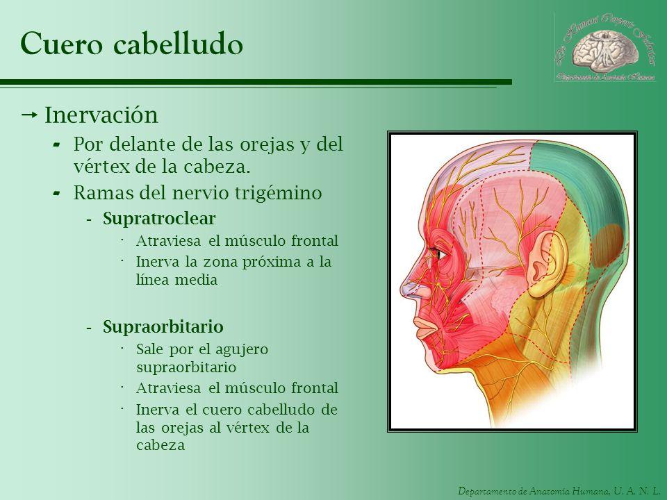 Departamento de Anatomía Humana, U. A. N. L. Cuero cabelludo Inervación - Por delante de las orejas y del vértex de la cabeza. - Ramas del nervio trig