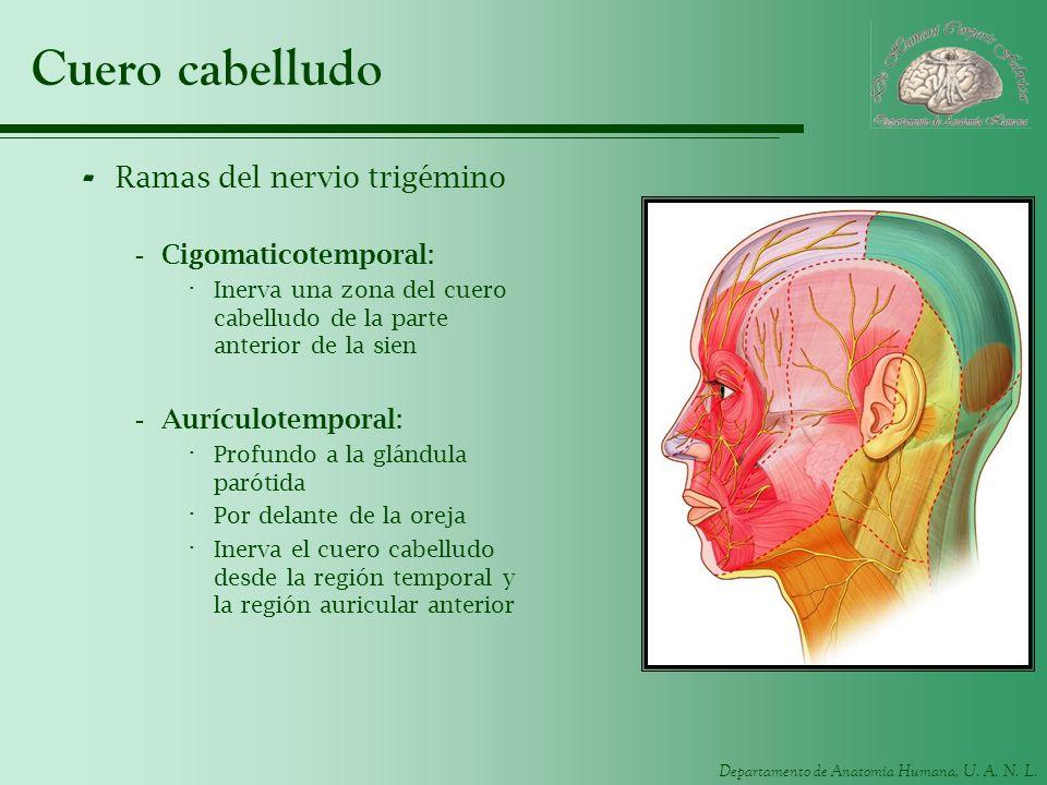 Departamento de Anatomía Humana, U. A. N. L. Cuero cabelludo - Ramas del nervio trigémino -Cigomaticotemporal: · Inerva una zona del cuero cabelludo d