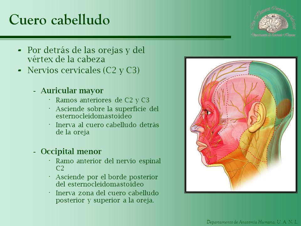 Departamento de Anatomía Humana, U. A. N. L. Cuero cabelludo - Por detrás de las orejas y del vértex de la cabeza - Nervios cervicales (C2 y C3) -Auri
