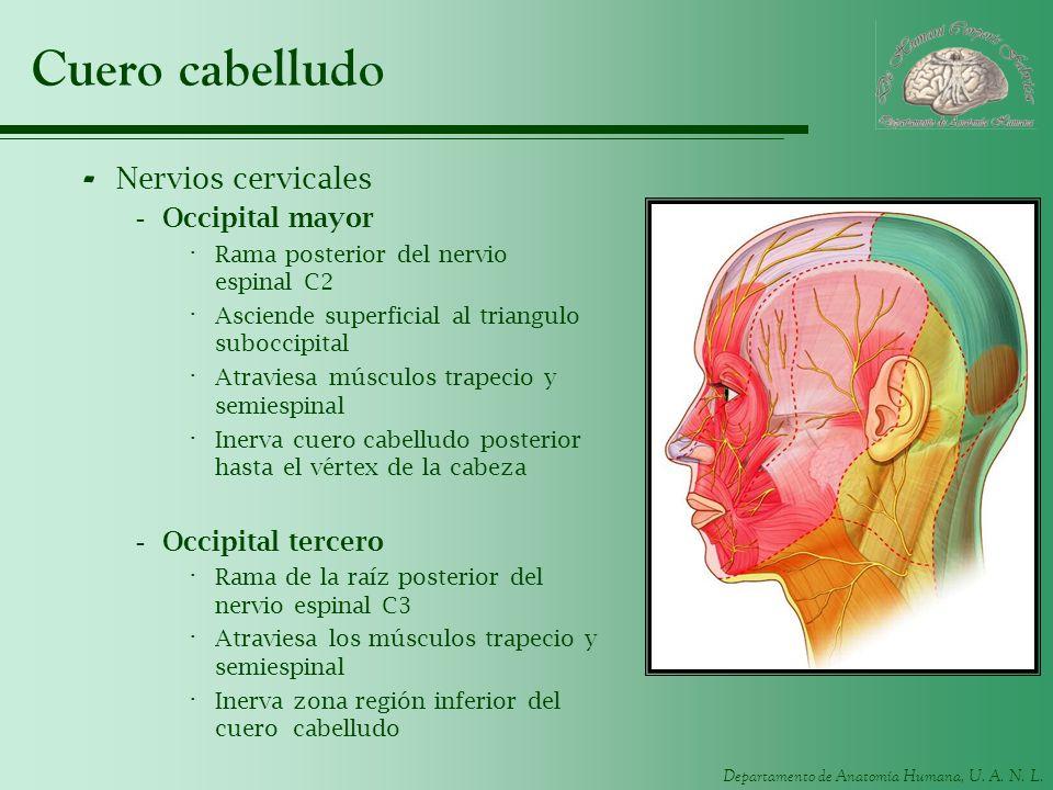 Departamento de Anatomía Humana, U. A. N. L. Cuero cabelludo - Nervios cervicales -Occipital mayor · Rama posterior del nervio espinal C2 · Asciende s