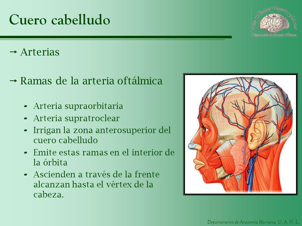 Departamento de Anatomía Humana, U. A. N. L. Cuero cabelludo Arterias Ramas de la arteria oftálmica - Arteria supraorbitaria - Arteria supratroclear -