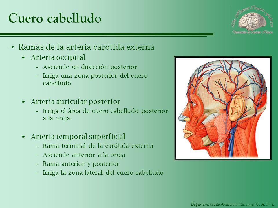 Departamento de Anatomía Humana, U. A. N. L. Cuero cabelludo Ramas de la arteria carótida externa - Arteria occipital -Asciende en dirección posterior