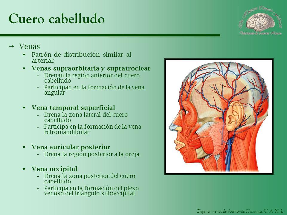 Departamento de Anatomía Humana, U. A. N. L. Cuero cabelludo Venas - Patrón de distribución similar al arterial: - Venas supraorbitaria y supratroclea