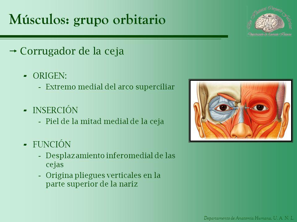 Departamento de Anatomía Humana, U. A. N. L. Músculos: grupo orbitario Corrugador de la ceja - ORIGEN: -Extremo medial del arco superciliar - INSERCIÓ