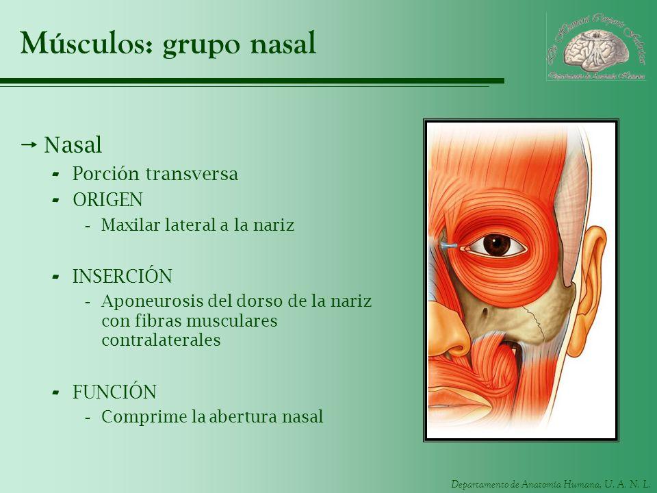 Departamento de Anatomía Humana, U. A. N. L. Músculos: grupo nasal Nasal - Porción transversa - ORIGEN -Maxilar lateral a la nariz - INSERCIÓN -Aponeu