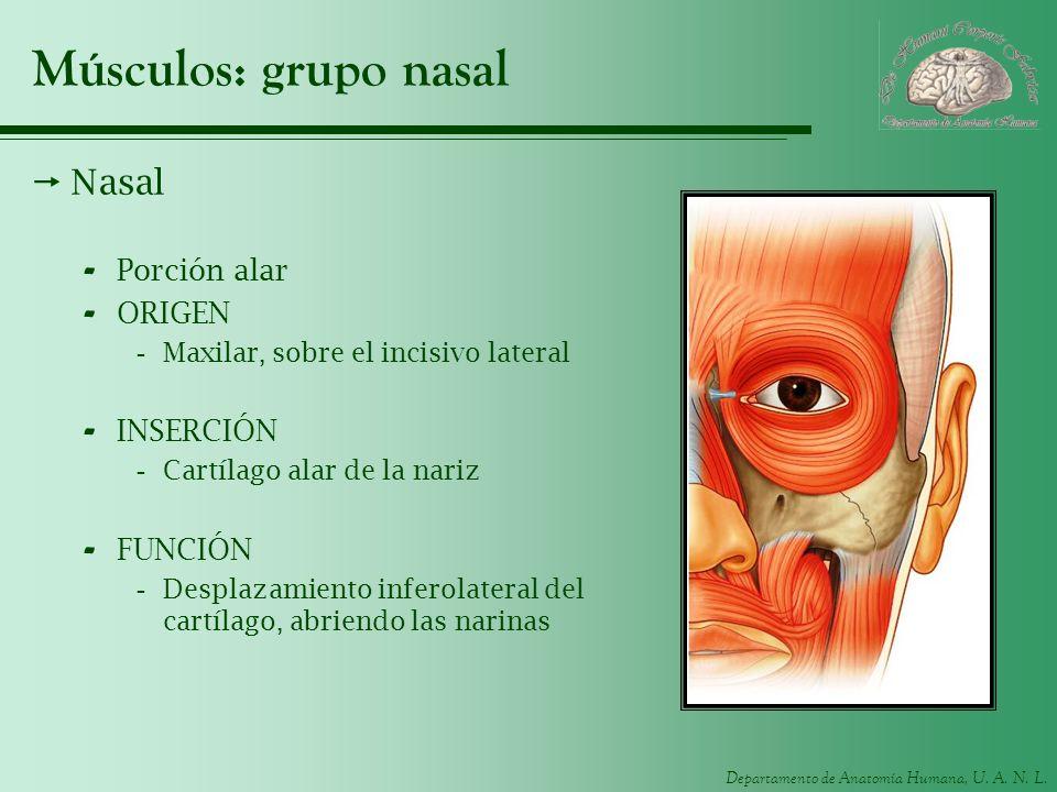 Departamento de Anatomía Humana, U. A. N. L. Músculos: grupo nasal Nasal - Porción alar - ORIGEN -Maxilar, sobre el incisivo lateral - INSERCIÓN -Cart