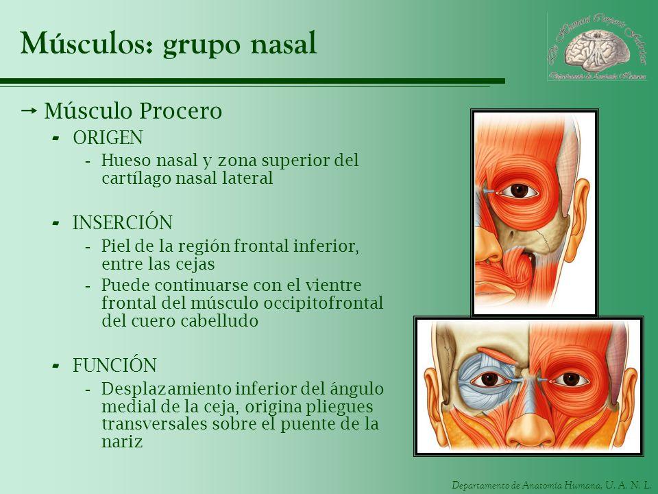 Departamento de Anatomía Humana, U. A. N. L. Músculos: grupo nasal Músculo Procero - ORIGEN -Hueso nasal y zona superior del cartílago nasal lateral -