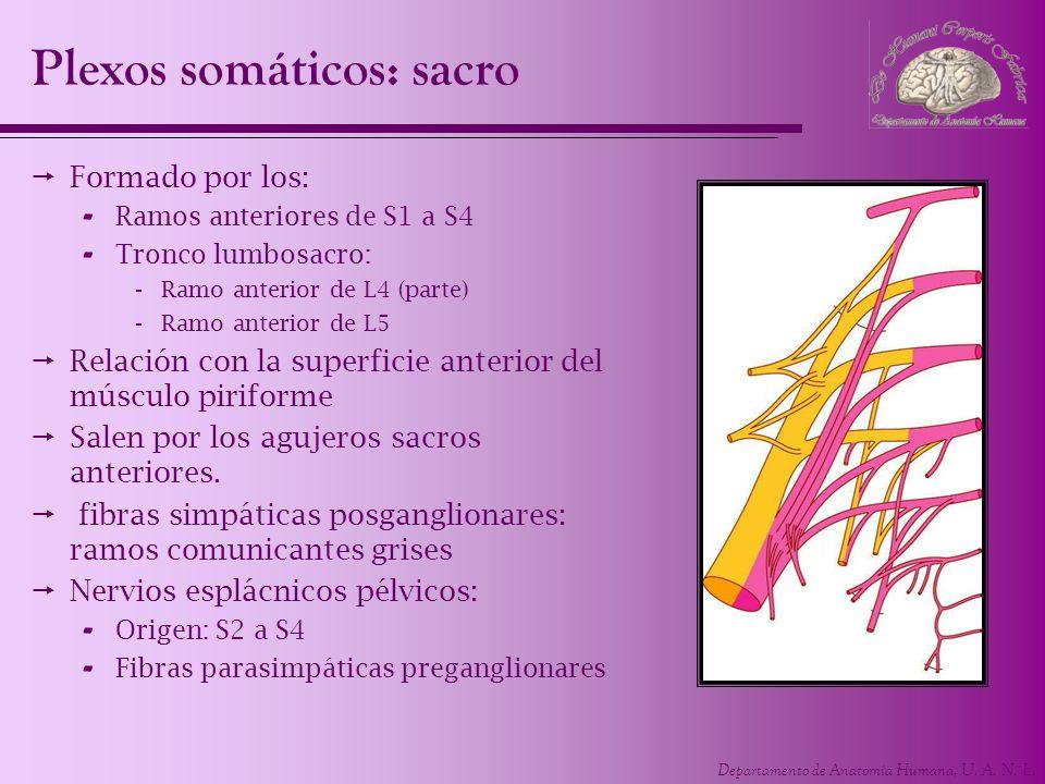 Departamento de Anatomía Humana, U. A. N. L. Plexos somáticos: sacro Formado por los: - Ramos anteriores de S1 a S4 - Tronco lumbosacro: -Ramo anterio