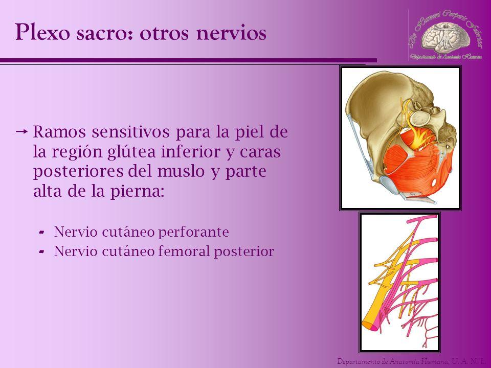 Departamento de Anatomía Humana, U. A. N. L. Plexo sacro: otros nervios Ramos sensitivos para la piel de la región glútea inferior y caras posteriores