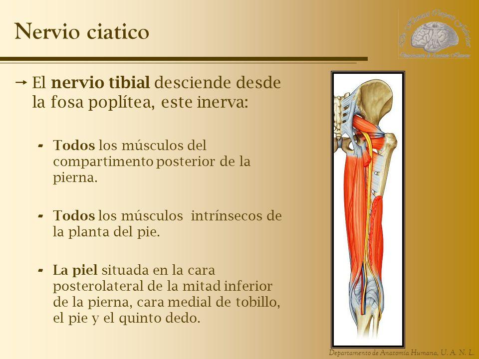 Departamento de Anatomía Humana, U. A. N. L. Nervio ciatico El nervio tibial desciende desde la fosa poplítea, este inerva: - Todos los músculos del c