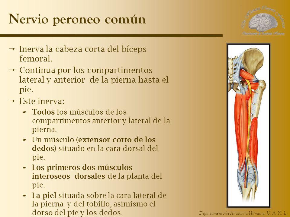 Departamento de Anatomía Humana, U. A. N. L. Nervio peroneo común Inerva la cabeza corta del bíceps femoral. Continua por los compartimentos lateral y