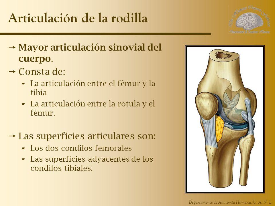 Departamento de Anatomía Humana, U. A. N. L. Articulación de la rodilla Mayor articulación sinovial del cuerpo. Consta de: - La articulación entre el