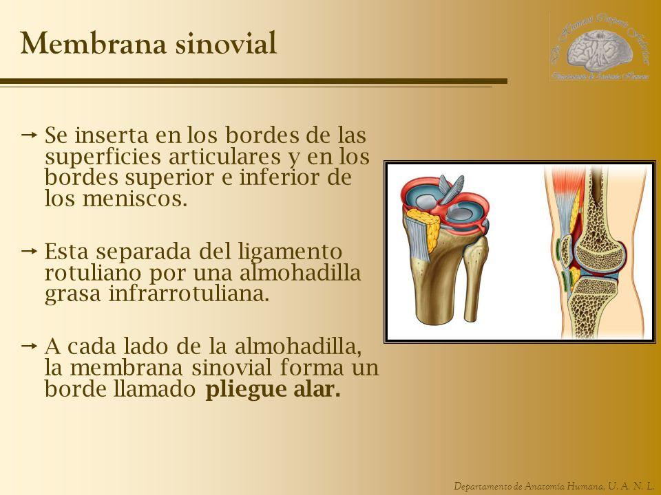 Departamento de Anatomía Humana, U. A. N. L. Membrana sinovial Se inserta en los bordes de las superficies articulares y en los bordes superior e infe