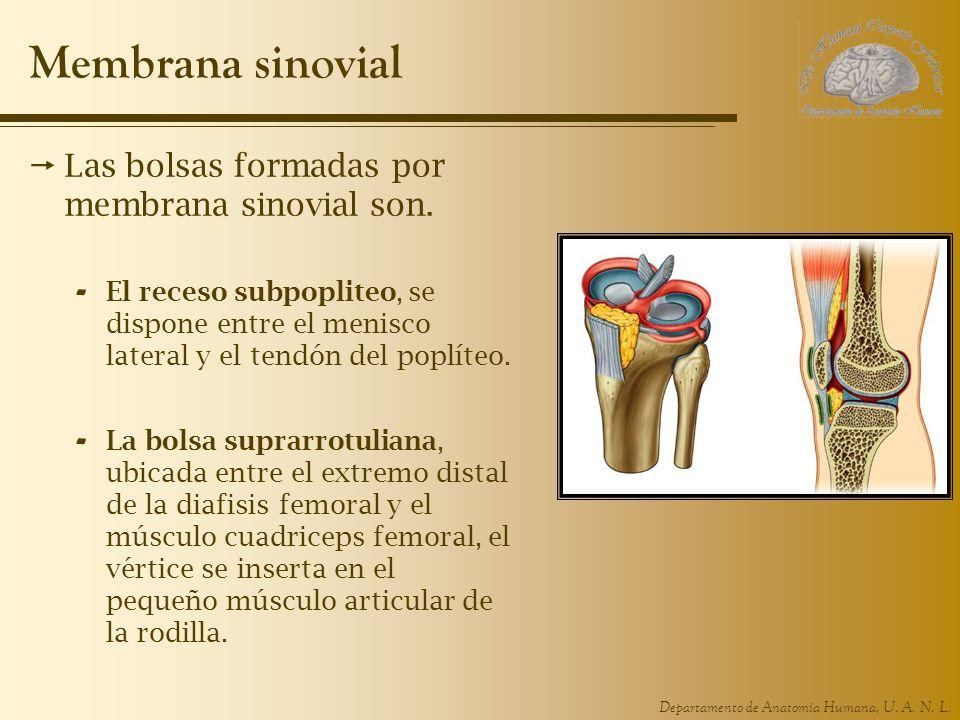 Departamento de Anatomía Humana, U. A. N. L. Membrana sinovial Las bolsas formadas por membrana sinovial son. - El receso subpopliteo, se dispone entr
