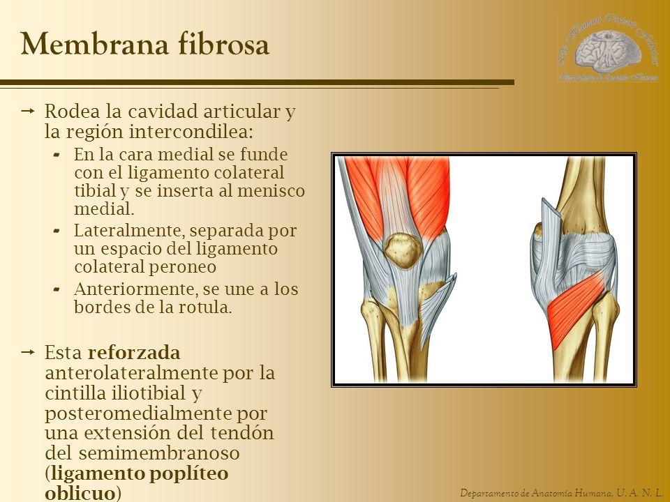 Departamento de Anatomía Humana, U. A. N. L. Membrana fibrosa Rodea la cavidad articular y la región intercondilea: - En la cara medial se funde con e
