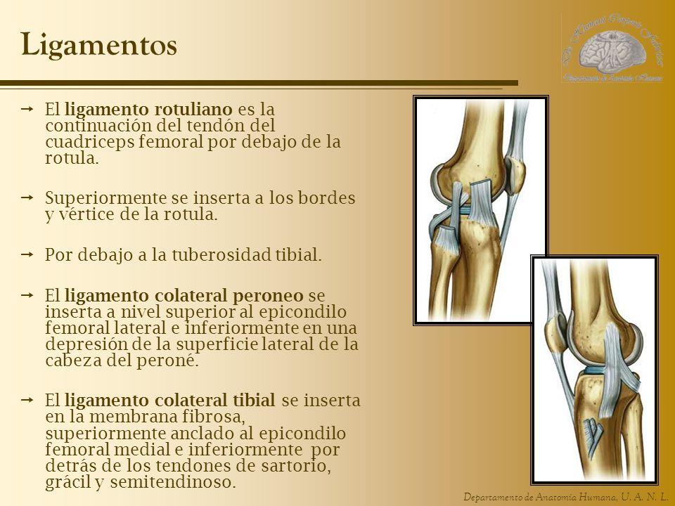 Departamento de Anatomía Humana, U. A. N. L. Ligamentos El ligamento rotuliano es la continuación del tendón del cuadriceps femoral por debajo de la r