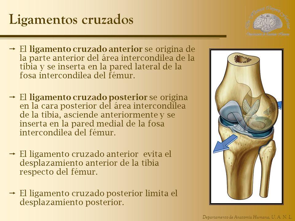 Departamento de Anatomía Humana, U. A. N. L. Ligamentos cruzados El ligamento cruzado anterior se origina de la parte anterior del área intercondilea