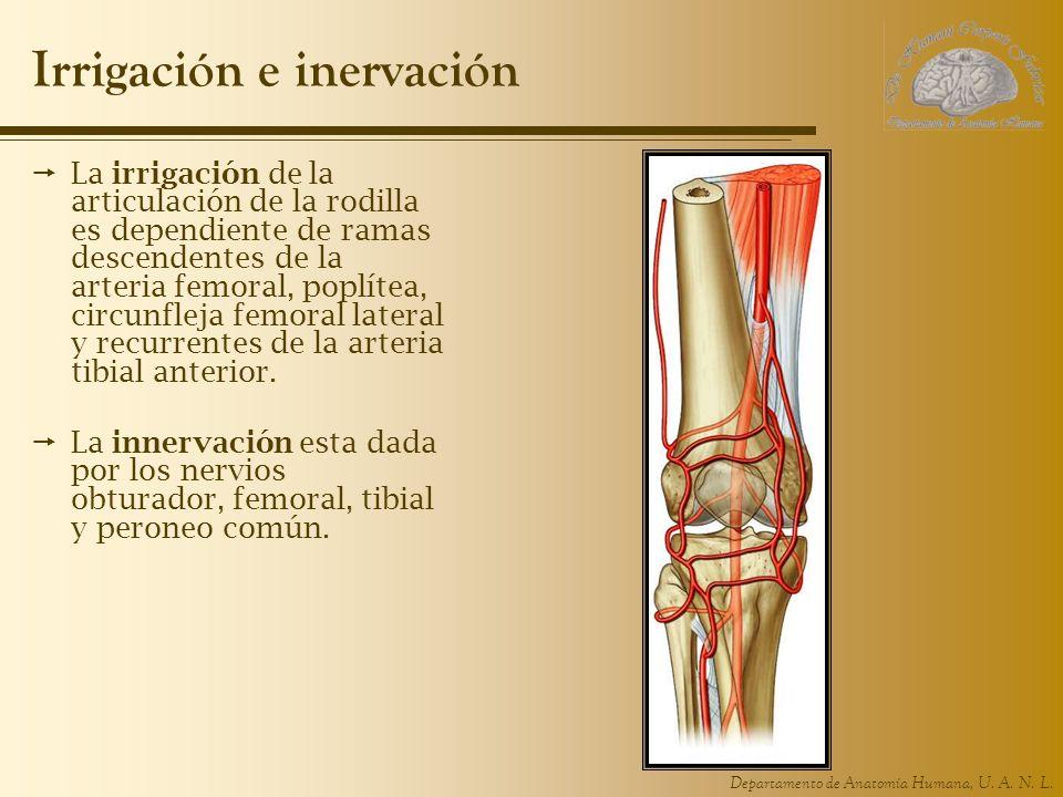 Departamento de Anatomía Humana, U. A. N. L. Irrigación e inervación La irrigación de la articulación de la rodilla es dependiente de ramas descendent
