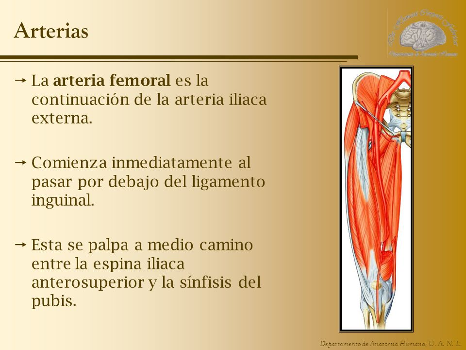 Departamento de Anatomía Humana, U. A. N. L. Arterias La arteria femoral es la continuación de la arteria iliaca externa. Comienza inmediatamente al p