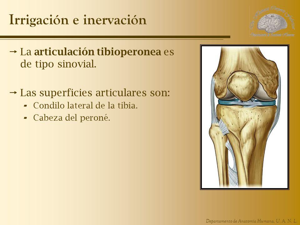 Departamento de Anatomía Humana, U. A. N. L. Irrigación e inervación La articulación tibioperonea es de tipo sinovial. Las superficies articulares son