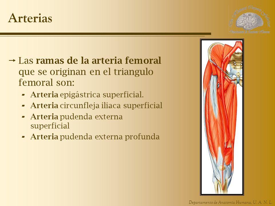 Departamento de Anatomía Humana, U. A. N. L. Arterias Las ramas de la arteria femoral que se originan en el triangulo femoral son: - Arteria epigástri