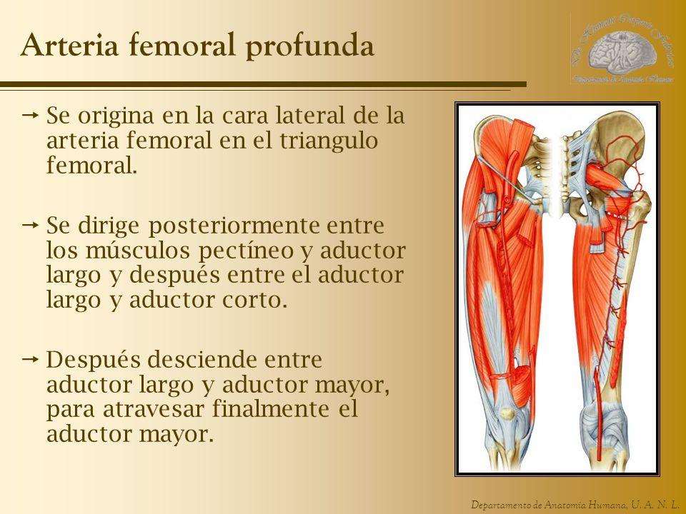 Departamento de Anatomía Humana, U. A. N. L. Arteria femoral profunda Se origina en la cara lateral de la arteria femoral en el triangulo femoral. Se