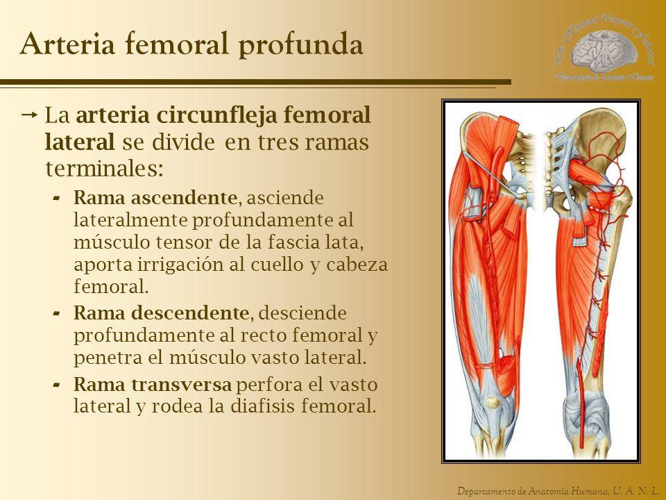 Departamento de Anatomía Humana, U. A. N. L. Arteria femoral profunda La arteria circunfleja femoral lateral se divide en tres ramas terminales: - Ram