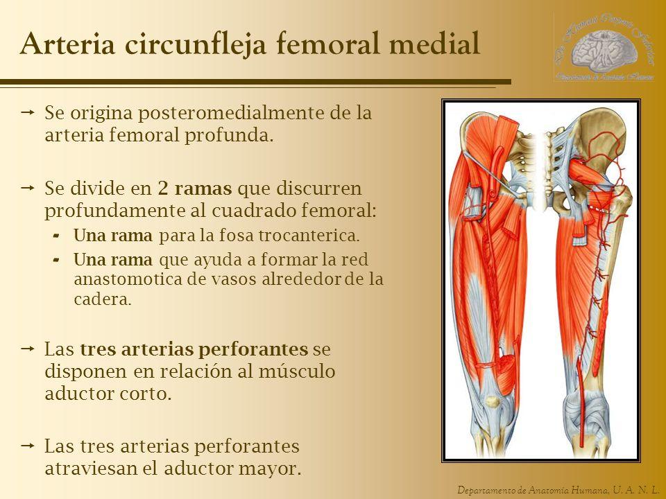 Departamento de Anatomía Humana, U. A. N. L. Arteria circunfleja femoral medial Se origina posteromedialmente de la arteria femoral profunda. Se divid