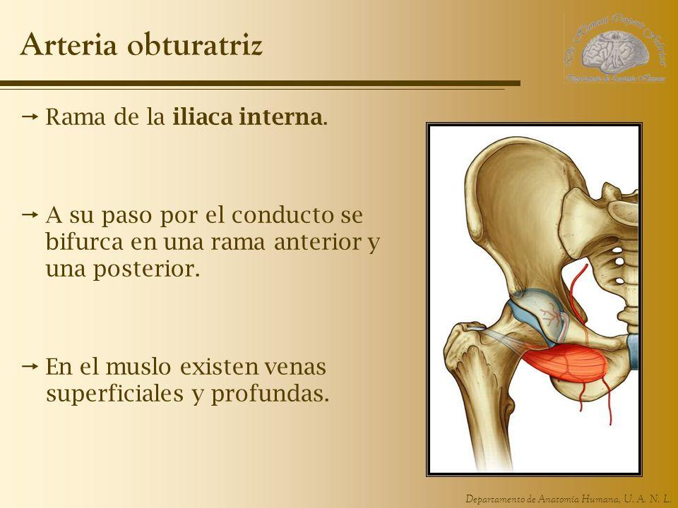 Departamento de Anatomía Humana, U. A. N. L. Arteria obturatriz Rama de la iliaca interna. A su paso por el conducto se bifurca en una rama anterior y