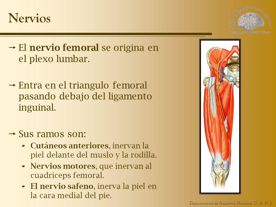 Departamento de Anatomía Humana, U. A. N. L. Nervios El nervio femoral se origina en el plexo lumbar. Entra en el triangulo femoral pasando debajo del