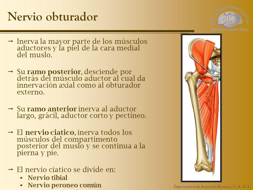 Departamento de Anatomía Humana, U. A. N. L. Nervio obturador Inerva la mayor parte de los músculos aductores y la piel de la cara medial del muslo. S