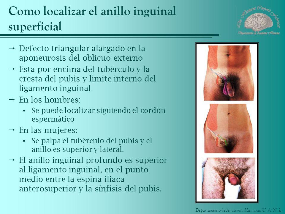 Departamento de Anatomía Humana, U. A. N. L. Como localizar el anillo inguinal superficial Defecto triangular alargado en la aponeurosis del oblicuo e