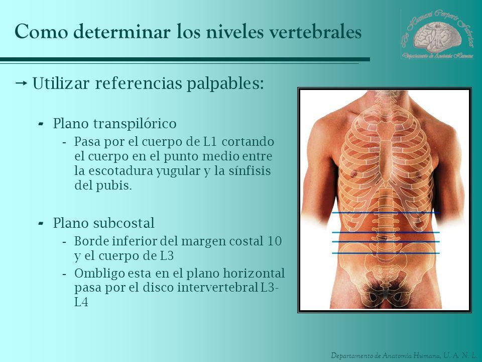 Departamento de Anatomía Humana, U. A. N. L. Como determinar los niveles vertebrales Utilizar referencias palpables: - Plano transpilórico -Pasa por e