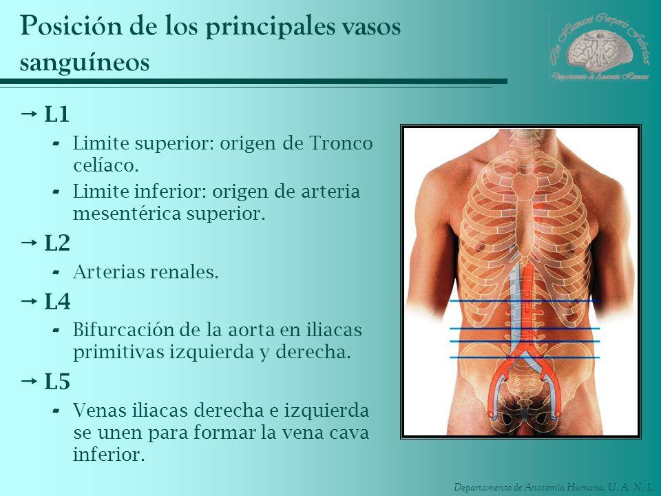 Departamento de Anatomía Humana, U. A. N. L. Posición de los principales vasos sanguíneos L1 - Limite superior: origen de Tronco celíaco. - Limite inf