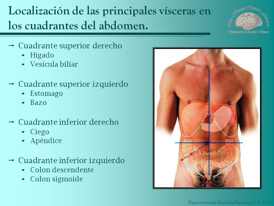 Departamento de Anatomía Humana, U. A. N. L. Localización de las principales vísceras en los cuadrantes del abdomen. Cuadrante superior derecho - Híga