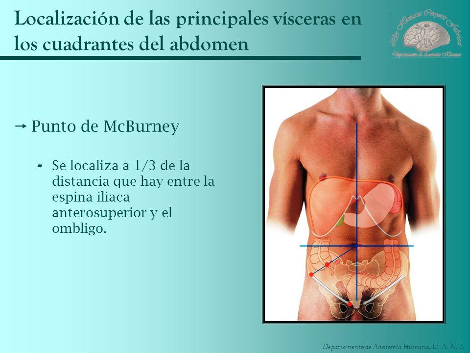 Departamento de Anatomía Humana, U. A. N. L. Localización de las principales vísceras en los cuadrantes del abdomen Punto de McBurney - Se localiza a